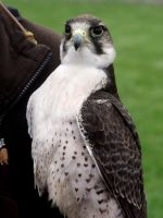 Lanner Falcon by FunkySockzLover