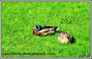 Sitting Ducks by curtition
