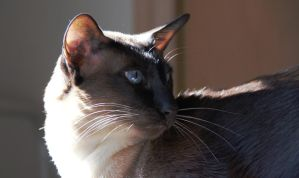 Siamese 4 by luckyseven11779