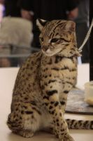 Chained Ocelot by GirlOfGore