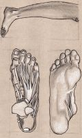 foot anatomy 3 by Lemures87