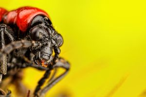 Scarlet Lilly Beetle Series 1-2 by dalantech