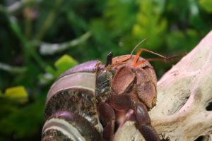 Indonesian Hermit Crab by GodzillaHermitCrab