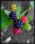 Blackberries by PaSt1978