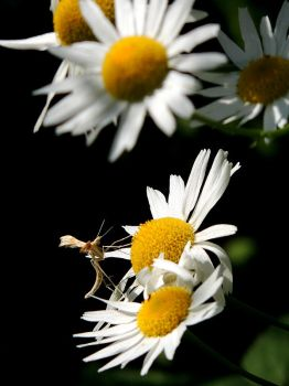 Daisies and resting grasshopper by setsun