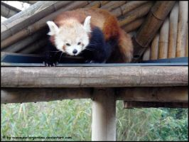Red panda VIII by Cansounofargentina