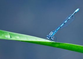 Damselfly by Karelliann