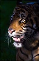 Sumatran Tiger 22-118 by lomoboy