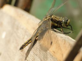 Dragonfly by plaindiamond