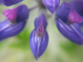 Lupine 10- The love plant by ObliviousMind