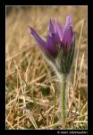 Pasque Flower by SmoothEyes
