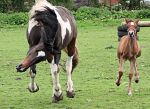 coloured broodmare and foal -stock two- by s-uperflu0us