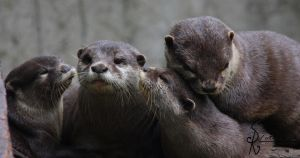 Otter Family by Saromei