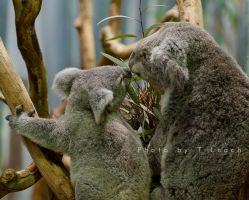Koala Kiss by tleach0608