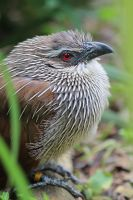 White-Browed Coucal by s-kmp