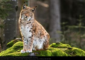 Lynx Lynx by alcidepece
