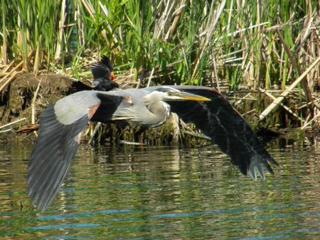 Gray Heron in Mid Air by thescholar23