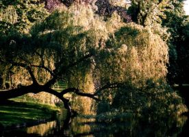 Willow by butterfly383632