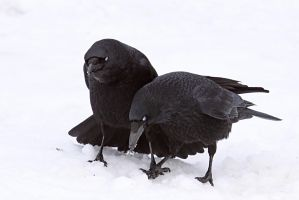 Two Crows 3 by SnowPoring
