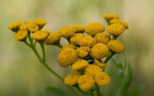 tansy by Henrikson