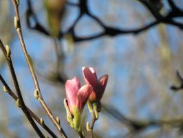 Magnolia 1 by mrscats