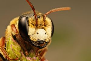 Solitary Bee on Mint X by dalantech