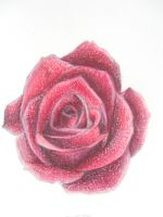 Rose drawing (realistic) by expectatinqs