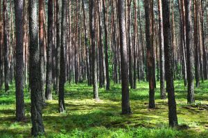 Strong pine forest by Kementarii