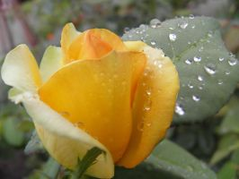 yellow rose by bwall49