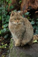 European Wildcat by guitarjohnny