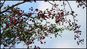 Autumn Berries by sags