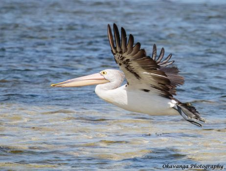 Pelican in Flight by Okavanga