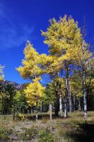 Golden Leaves by Riphath