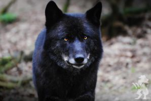 Black Wolf Facing 4 by SilentWolFox
