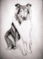 Houston the Collie by Destiny-Carter