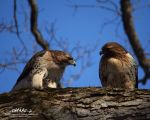 Red Tail Rendezvous by RobAndersonJr