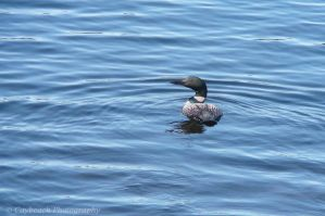 Common Loon by caybeach