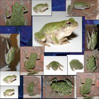 Tree Frog Stock Collage by crumpstock