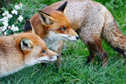 Fox Couple by EdPettitt