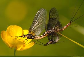 Mayflies Mating by runique