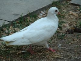 White Pigeon Stock by happybg