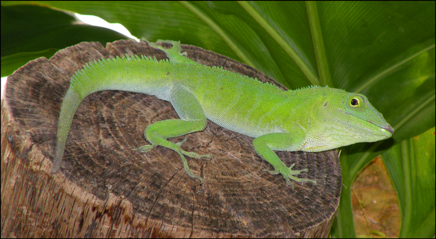 Jamaican Anole by Leonca