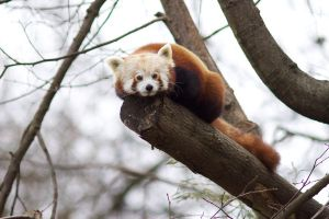 Red Panda 02 Stock by lokinststock