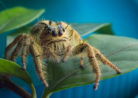Yellow Jumping Spider II by MizarII