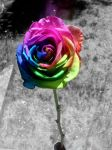 rainbow.rose by pluummmpluummm