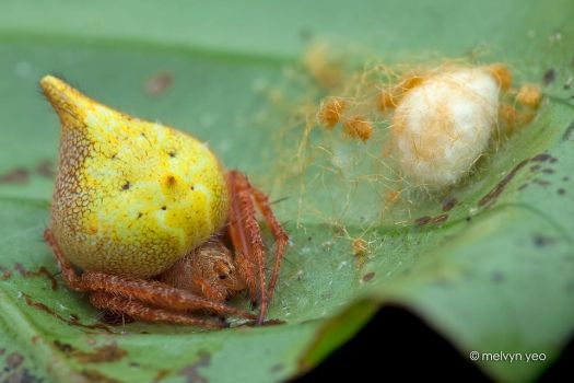 Orb weaver and her egg sac by melvynyeo