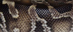 Black Blood Python Macro by Phoenix-Cry