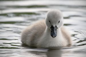 Evening Cygnet by SnowPoring