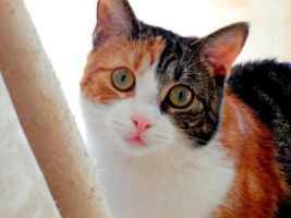 Calico by Amy15xx