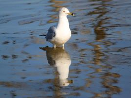Reflections of a Gull by SalemCat